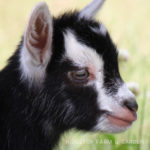 Our Goat Herd: Wyldestyle
