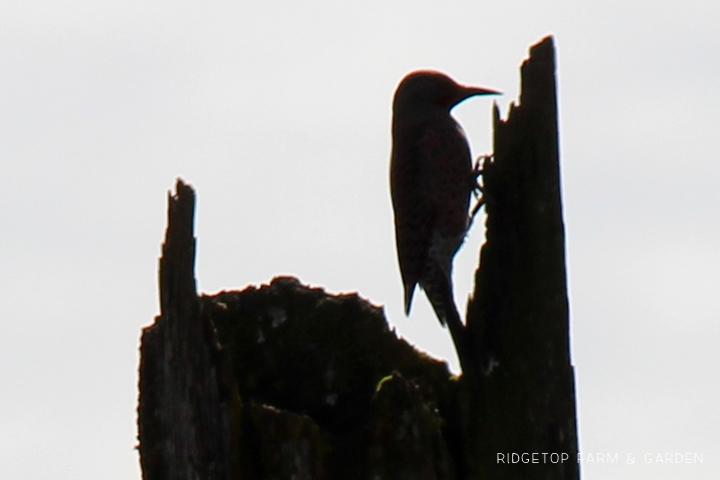Ridgetop Farm and Garden | Pacific NW Birds | Northern Flicker