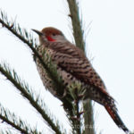 Birds 'round Here: Northern Flicker