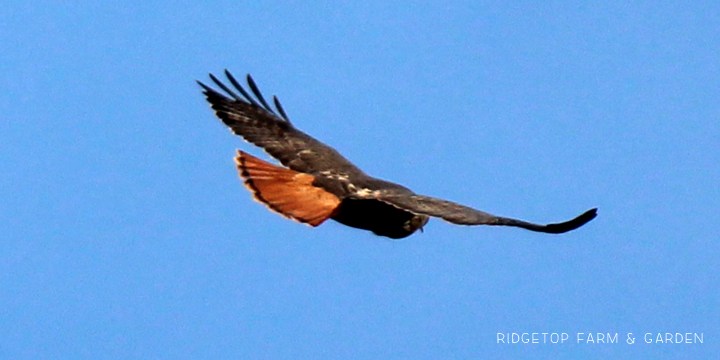 Ridgetop Farm and Garden | Pacific NW Birds | Red-tailed Hawk