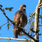 Birds 'round Here: Red-tailed Hawk