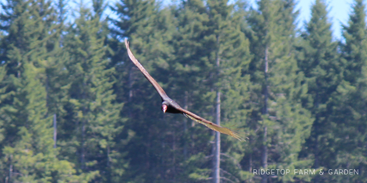 Ridgetop Farm and Garden | Pacific NW Birds | Turkey Vulture