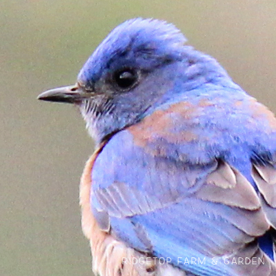Birds 'round Here: Western Bluebird