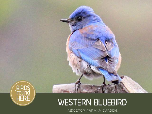 Ridgetop Farm and Garden | Pacific NW Birds | Western Bluebird
