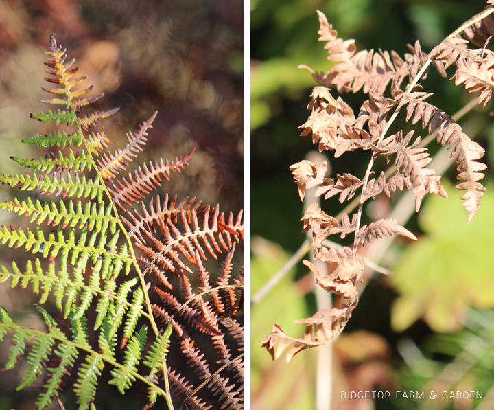 Ridgetop Farm and Garden | Pacific NW Plants | Bracken Fern