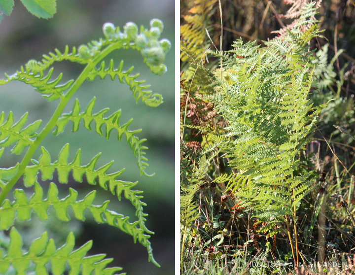 Ridgetop Farm and Garden | Pacific NW Plants | Bracken Fern