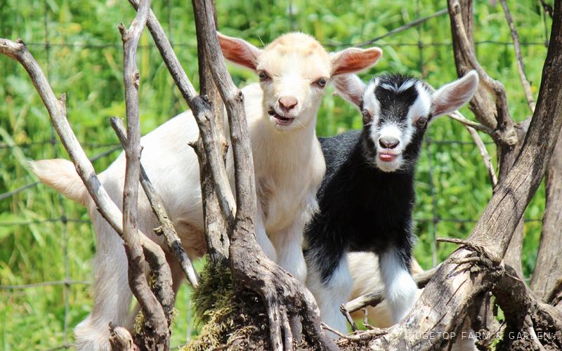 Nigerian Dwarf Goat 2017 Slide