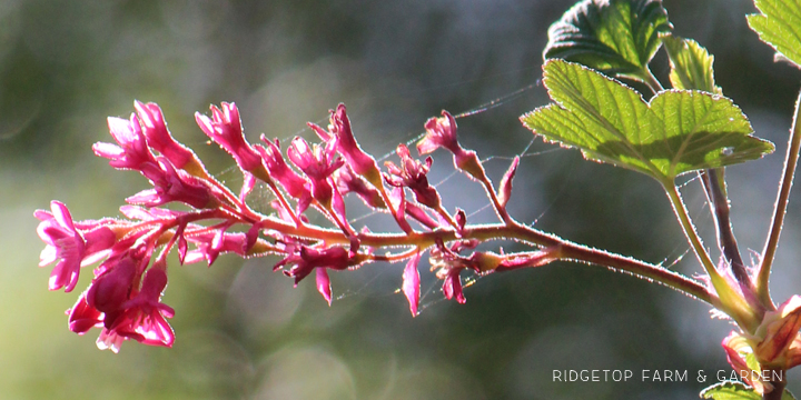 Ridgetop Farm and Garden | Pacific NW Plants | Red Flowering Currant