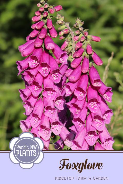 Ridgetop Farm and Garden | Pacific NW Plants | Foxglove