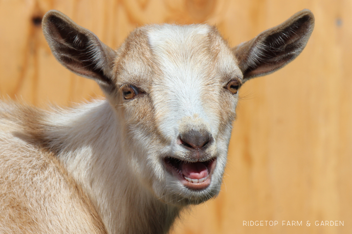 Ridgetop Farm and Garden | Nigerian Dwarf Goat | Our Herd | Wingman