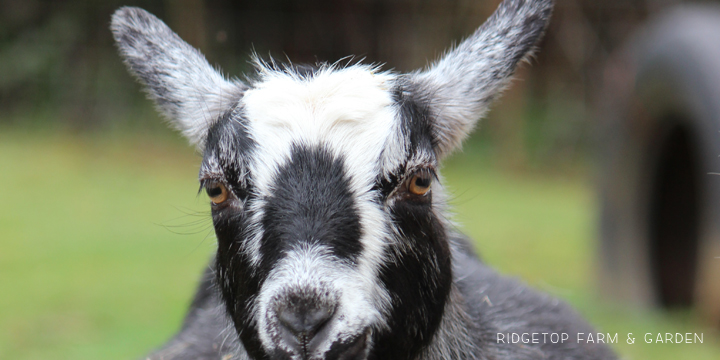 Ridgetop Farm and Garden | Nigerian Dwarf Goat Coat Pattern