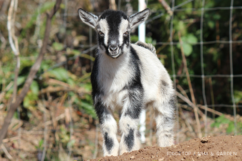Ridgetop Farm and Garden | 2018 Nigerian Dwarf Kids for Sale