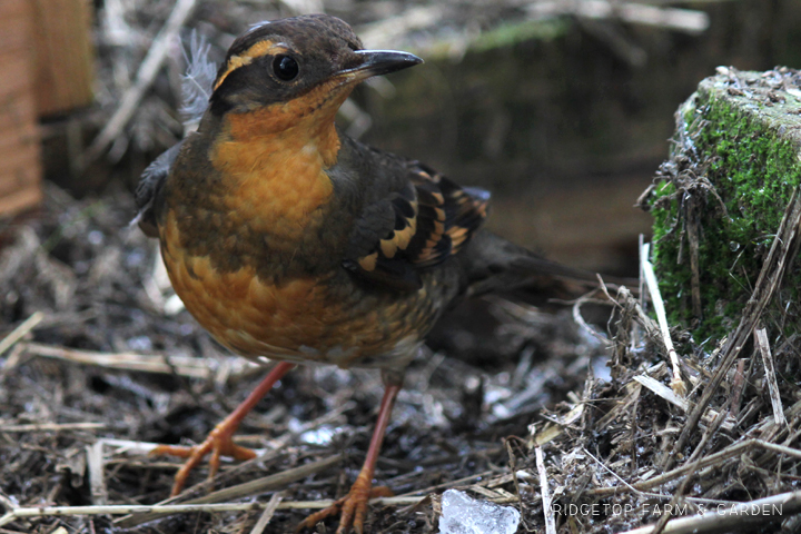 Ridgetop Farm and Garden | 2018 Great Backyard Bird Count | Varied Thrush