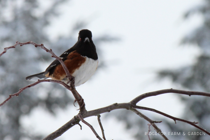 Ridgetop Farm and Garden | 2018 Great Backyard Bird Count | Spotted Towhee