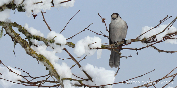 Ridgetop Farm and Garden | 2018 Great Backyard Bird Count | Gray Jay