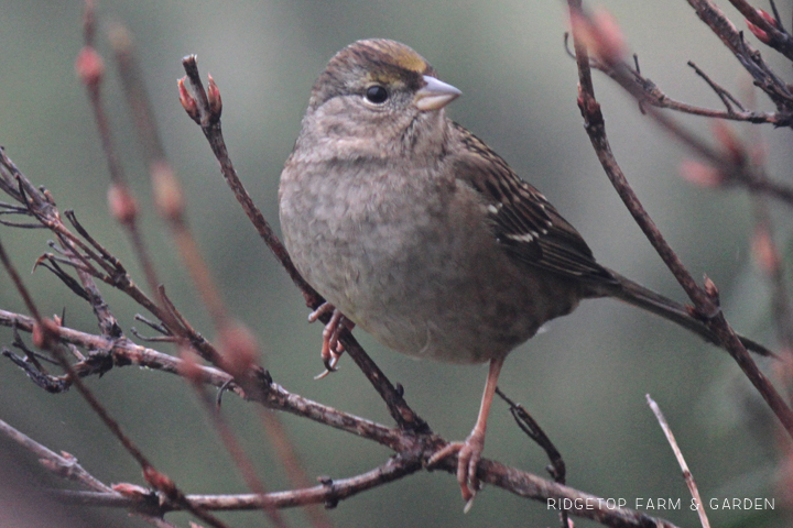 Ridgetop Farm and Garden | 2018 Great Backyard Bird Count | Golden-crowned Sparrow