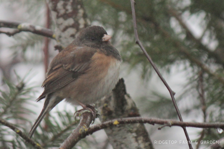 Ridgetop Farm and Garden | 2018 Great Backyard Bird Count | Dark-eyed Junco