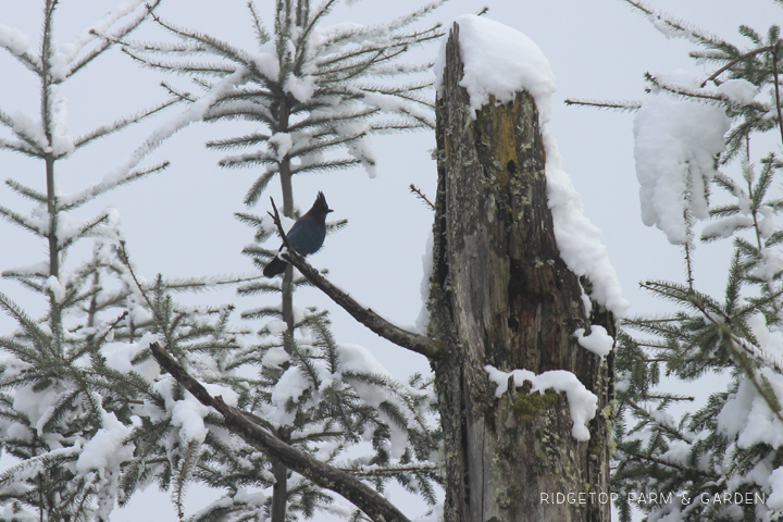 Ridgetop Farm and Garden | 2018 Great Backyard Bird Count | Steller's Jay