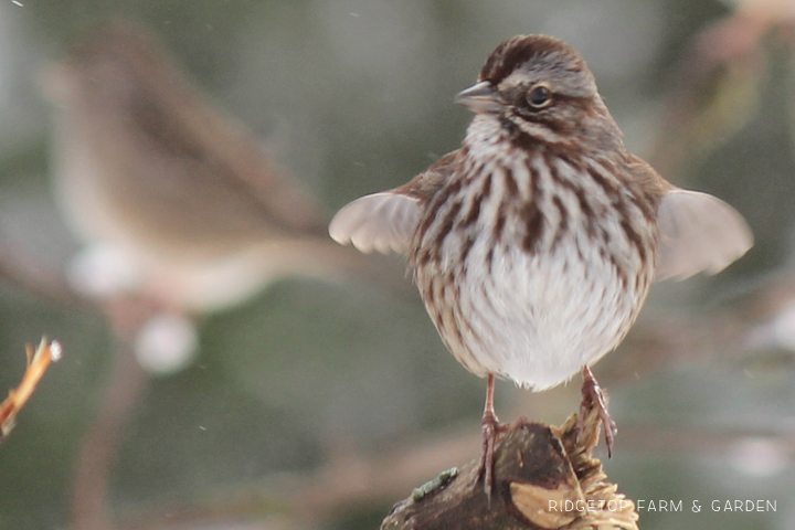 Ridgetop Farm and Garden | 2018 Great Backyard Bird Count | Song Sparrow
