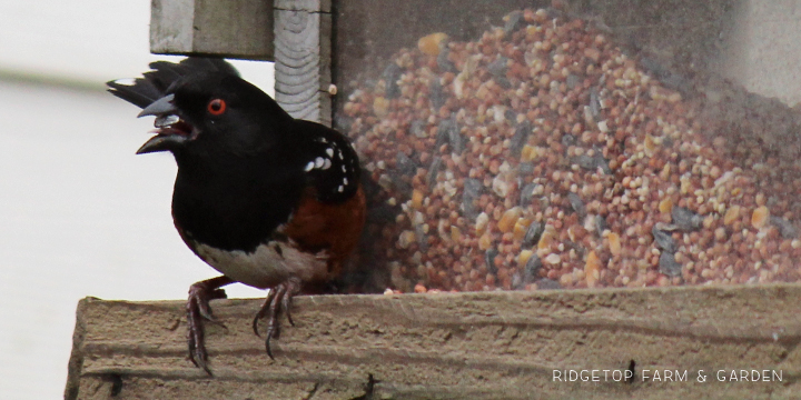 Ridgetop Farm and Garden | Birds 'round Here | Spotted Towhee
