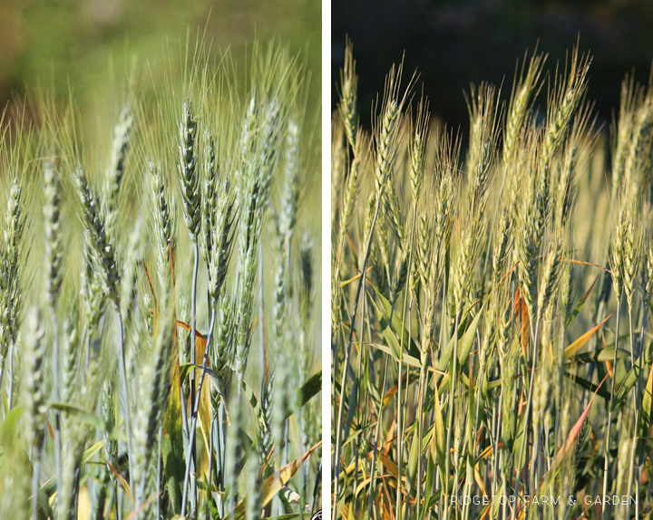 Ridgetop Farm and Garden | Growing Harvesting Summer Wheat