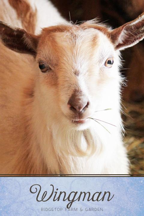 Ridgetop Farm and Garden | NIgerian Dwarf Goat | Goat Herd | Wingman