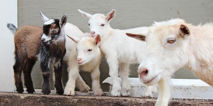 Kidding Season | Nigerian Dwarf Goats | Ridgetop Farm and Garden | For Sale North Plains Oregon