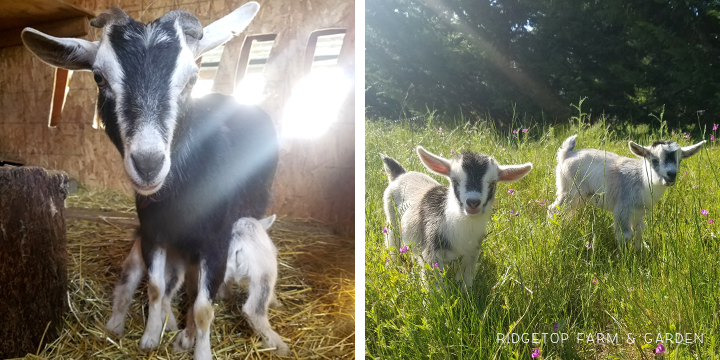Kidding Season | Nigerian Dwarf Goats | Ridgetop Farm and Garden