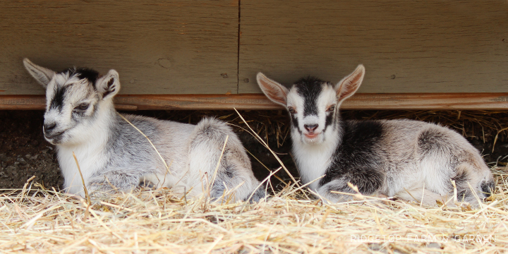 2019 Kidding Season | Nigerian Dwarf Goats | Ridgetop Farm and Garden | For Sale | Oregon