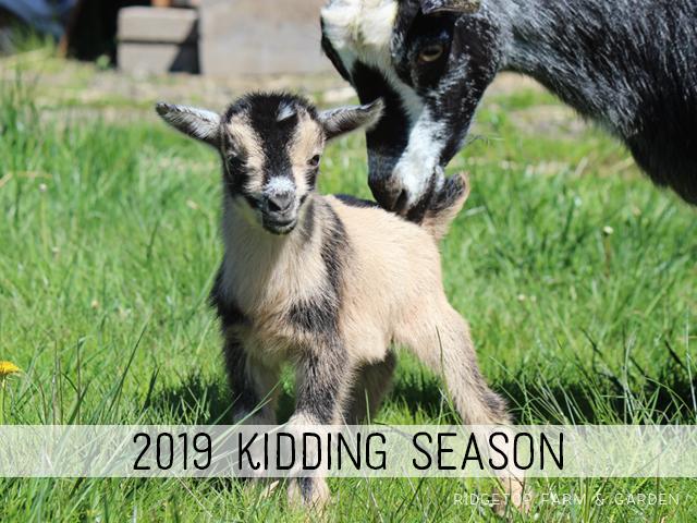 2019 Kidding Season | Nigerian Dwarf Goats | Ridgetop Farm and Garden
