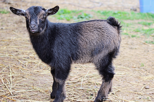 Ridgetop Farm and Garden | Nigerian Dwarf Goats For Sale | Oregon