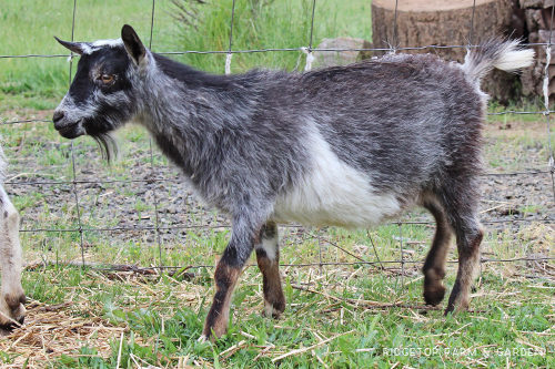 Ridgetop Farm and Garden | Registered Buck | Nigerian Dwarf Goats For Sale | Oregon