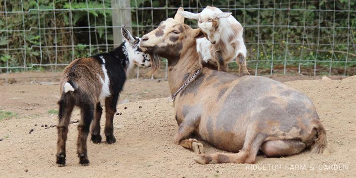 Ridgetop Farm and Garden   Nigerian Dwarf Goat   Our Herd   Moon   moon spots   goats for sale north plains oregon