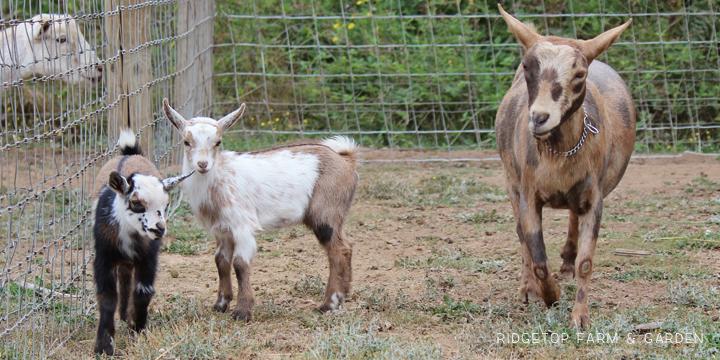 Kidding Season | Nigerian Dwarf Goats | Ridgetop Farm and Garden | For Sale | Hillsboro Oregon
