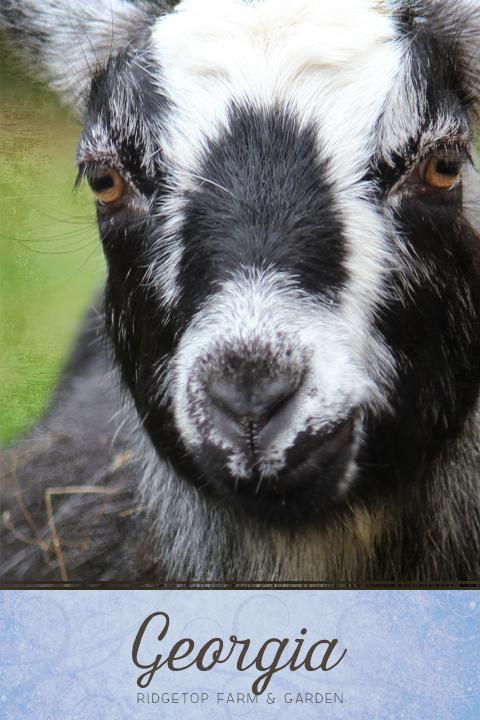 Ridgetop Farm and Garden | Our Goat Herd | Nigerian Dwarf | THE BB MISS GEORGIA O'KEEFE