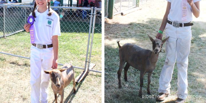Ridgetop Farm and Garden   Nigerian Dwarf Goat   Our Herd   Moon