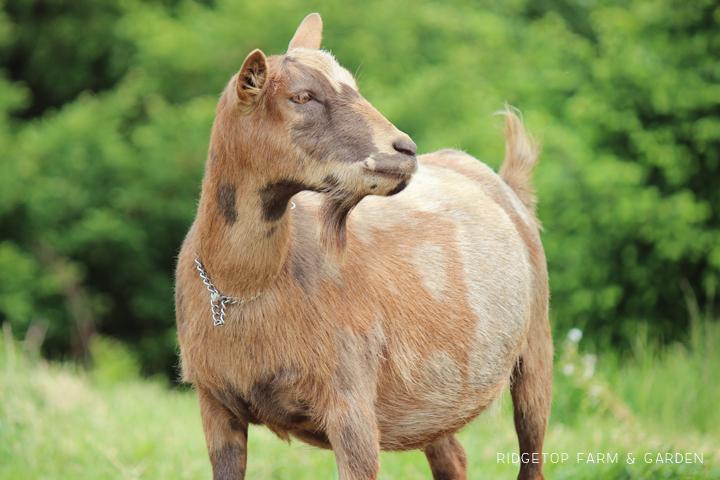 Ridgetop Farm and Garden   Nigerian Dwarf Goat   Our Herd   Moon   moon spots