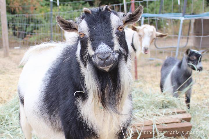 Ridgetop Farm and Garden | Our Goat Herd | Nigerian Dwarf Goat | Tamarack