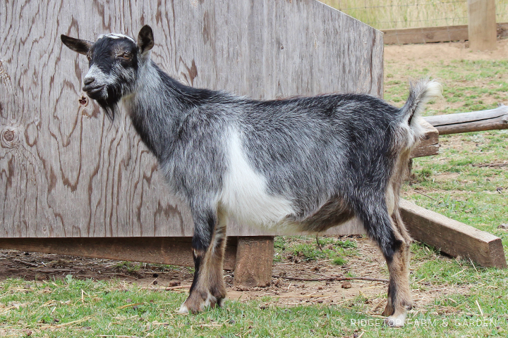 Ridgetop Farm and Garden | Our Goat Herd | Nigerian Dwarf | PLENTYWATER MISTER WANDERLUST | polled | for sale | Oregon
