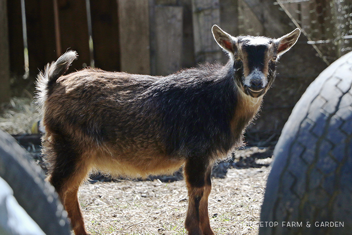 2020 Goats for Sale | Nigerian Dwarf Goats for Sale Oregon | ADGA Registered Nigerian Dwarf Goats | North Plains, OR | Ridgetop Farm and Garden