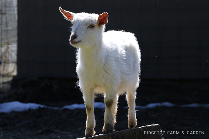 2020 Goats for Sale | Nigerian Dwarf Goats for Sale Oregon | ADGA Registered Nigerian Dwarf Goats | Hillsboro, OR | Ridgetop Farm and Garden