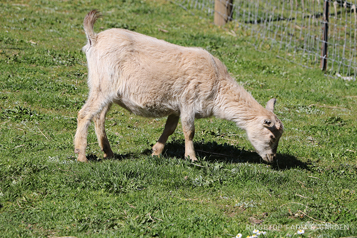 2020 Goats for Sale | Nigerian Dwarf Goats for Sale Oregon | ADGA Registered Nigerian Dwarf Goats | Banks, OR | Ridgetop Farm and Garden