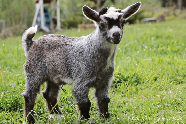 2020 Goats for Sale | Nigerian Dwarf Goats for Sale Oregon | ADGA Registered Nigerian Dwarf Goats | North Plains, OR | Goat Kid for sale | Ridgetop Farm and Garden