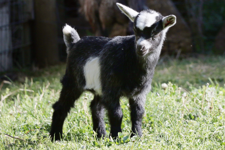 2020 Goats for Sale | Nigerian Dwarf Goats for Sale Oregon | ADGA Registered Nigerian Dwarf Goats |  Hillsboro, OR | 4-H show goat | Ridgetop Farm and Garden