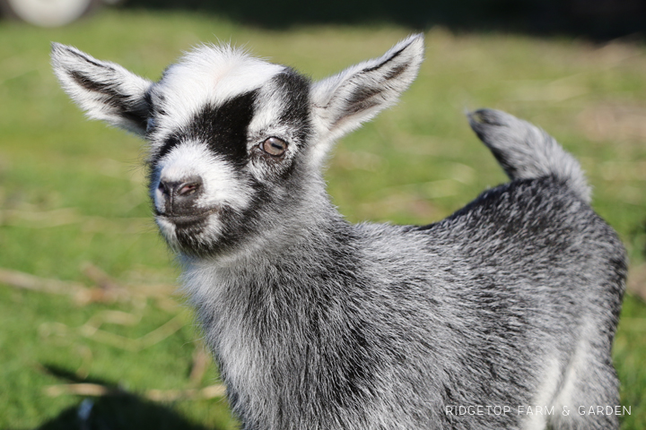 2020 Goats for Sale | Nigerian Dwarf Goats for Sale Oregon | ADGA Registered Nigerian Dwarf Goats | Banks, OR | 4H Show Goat | Ridgetop Farm and Garden