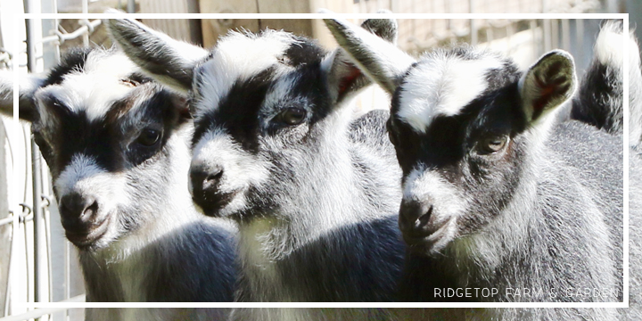2020 Goats for Sale | Nigerian Dwarf Goats for Sale Oregon | ADGA Registered Nigerian Dwarf Goats | North Plains, OR | Hillsboro, OR | Banks, OR | Ridgetop Farm and Garden