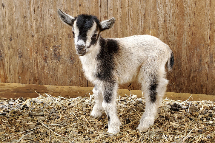 2020 Goats for Sale | Nigerian Dwarf Goats for Sale Oregon | Wether | North Plains, Oregon | Ridgetop Farm and Garden