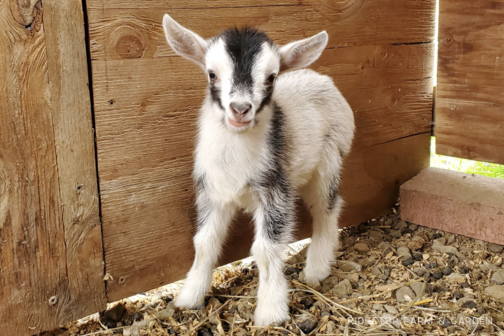 2020 Goats for Sale | Nigerian Dwarf Goats for Sale Oregon | Doe | Nigerian Dwarf Goats | Hillsboro, OR | Ridgetop Farm and Garden