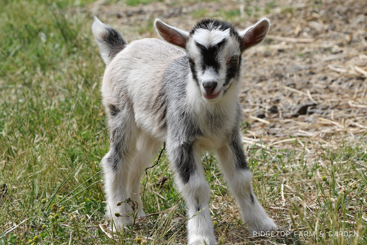 2020 Goats for Sale | Nigerian Dwarf Goats for Sale Oregon | Doe | Forest Grove, OR | Ridgetop Farm and Garden