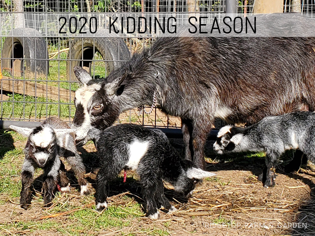 2020 Kidding Season | Ridgetop Farm and Garden